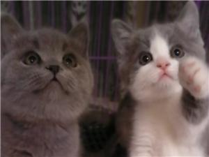 出售家养纯种英短蓝猫蓝白正八字