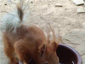 一个月大的雪地松鼠幼崽