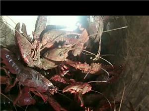 龙女开放钓龙虾