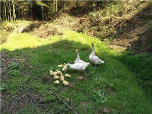 散养土鸡、鸭、鹅、蛋、羊出售