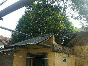 出售金桂树