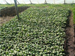 卖秧苗,各种蔬菜苗