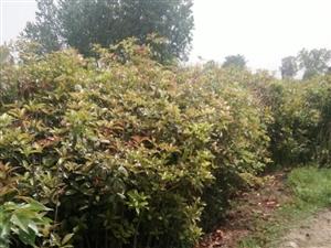大量桂花树苗及樱花树出售