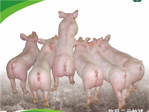 大量供应优质二元种猪15838450687
