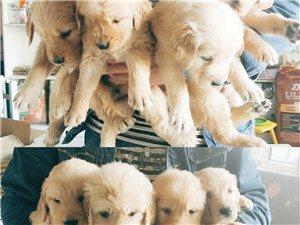 出售自己家繁殖寵物狗狗