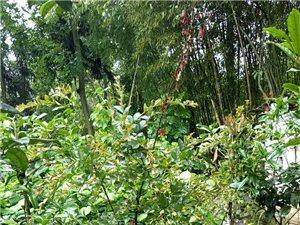 出售,銀杏,桂花,紫金,黃連等苗木