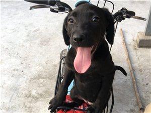 黑色母拉布拉多幼犬出售