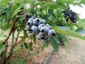 一滴除草剂都没有打过的蓝莓熟了