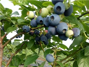 一滴除草剂都没有打过的蓝莓熟啦!