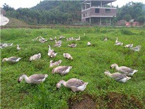 農家純放養土鵝,