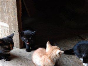 小猫求领养,老可爱的小黑喵