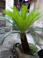 30年铁树两颗,信丰县城,价格面议