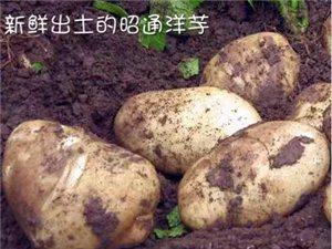 昭通本地黃心洋芋批發及配送