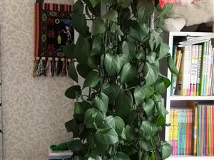家养绿萝,4年生,净化空气的好帮手。越长越大,希望有爱花人士,将它领回家吧。美好的生活,需要花草的陪...