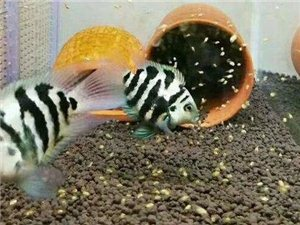 自家繁殖的蓝眼胡子迷你鹦鹉雷龙苗观赏虾