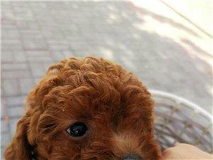自己家養的小體泰迪狗