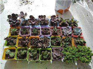 多肉植物便宜甩卖了!!!!价格绝对低!!!分种类10元3盆,10元4盆!!!
