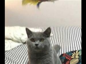 家里的一对蓝猫生小猫了 ,两母一公, 小宝宝们找新家!在那大的,养过猫有经验的可以便宜