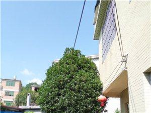 8月桂,树形好,开花的时候桂花 清香飘满院,因为家里有两棵,现将这棵出售,地址田背村,有意的可以电话...