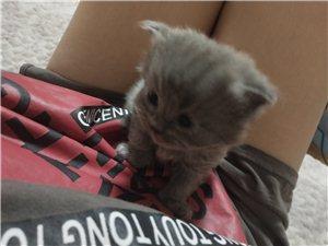 自己家養的藍貓  純種寵物店買的  現在