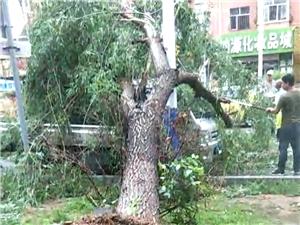 昨晚西园小区南门,路边大树被大风连根拔起
