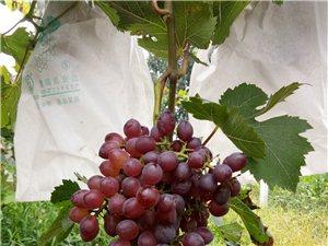 白果树葡萄采摘园欢迎您