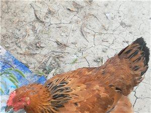 自家散养走地鸡出售