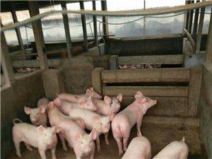 出售三元仔猪,精品黑猪,太湖二代三代小母猪