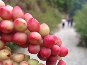 陕南野味五味子相继成熟来自大自然的珍贵馈赠