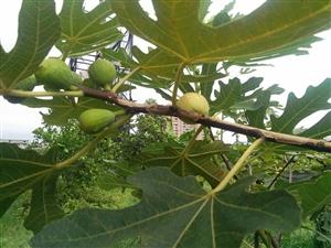 厂区有几颗果树,是无花果?有水果吃了