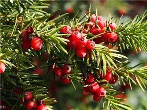 它叫红豆杉,知道不?