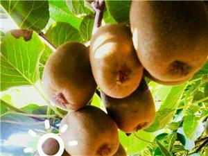 山东的狝猴桃