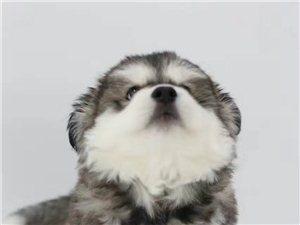 出售阿拉斯加幼犬