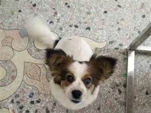 西洋狗狗想给她找个爱心人士收养