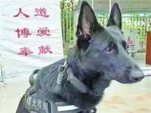 它们不会偷懒、不会喊累,它们是狗,却活成了英雄的模样!