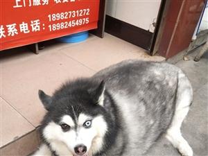这是我见过最胖的狗