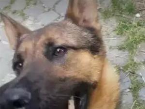 这只救过数十人的英雄犬,被人毒死了...原创:?铲屎哥?狗与爱的世界
