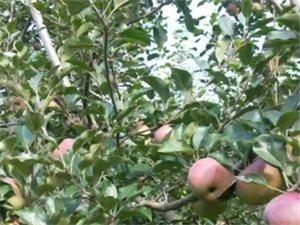 一棵苹果树能接500斤左右的苹果。