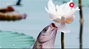 请欣赏鱼吃荷花的图片