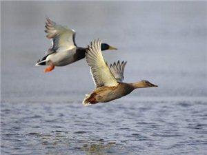 马袅海鸭——会飞的海鸭