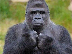 艾滋病起源于猩猩,