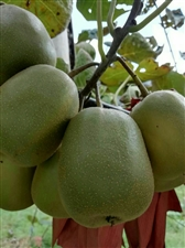 澳门威尼斯人在线娱乐红心猕猴桃嫁接苗及果实