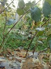 出售红心猕猴桃嫁接苗及果实
