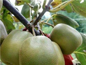 出售�t心�J猴桃嫁接苗及果子