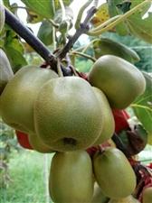 出售红心猕猴桃嫁接苗及果子