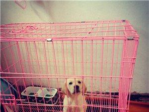 家有拉布拉多犬,有意聯系。