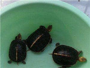 不怕人的小乌龟