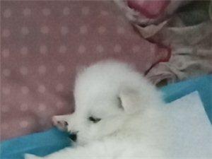 薩摩耶幼犬