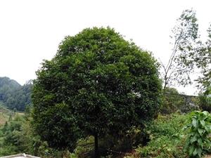 桂花树出售18984998706