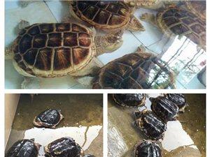 鳄龟,是现存最古老的爬行动物,世界最大的淡水龟之一、有淡水动物王者之称,分为两大种类,俗称大鳄与小鳄
